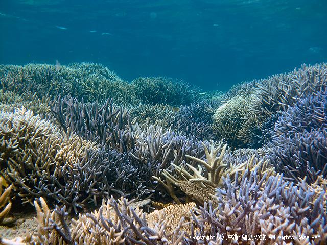 枝サンゴの群生