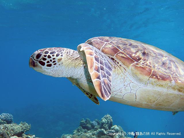 阿嘉島のウミガメ