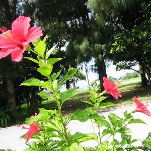 いかにも沖縄なハイビスカス