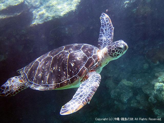 阿嘉島は阿嘉ビーチのウミガメ