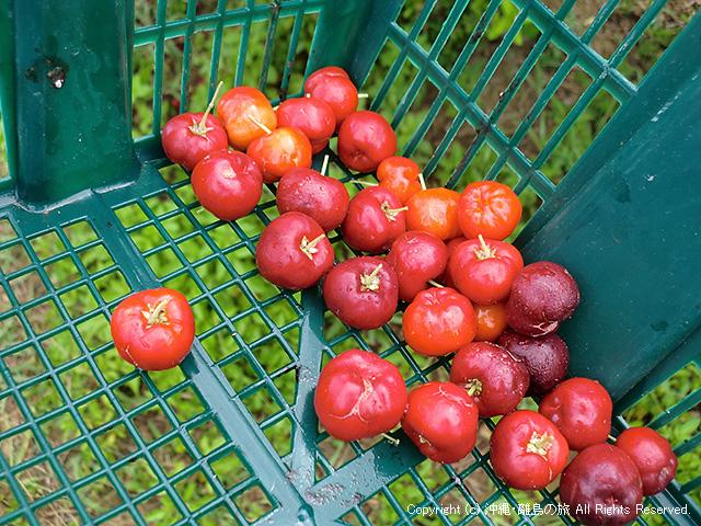 アセロラの収穫。収穫しながら食べながらw