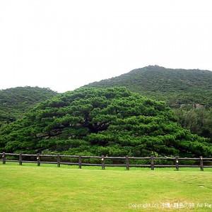 県指定天然記念物の念頭平松(ねんとうひらまつ)