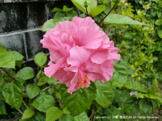 数種類のハイビスカスが咲いている。