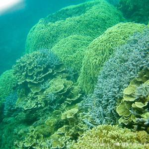 阿嘉島のサンゴ