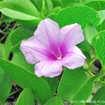 イシキ浜に咲くグンバイヒルガオ