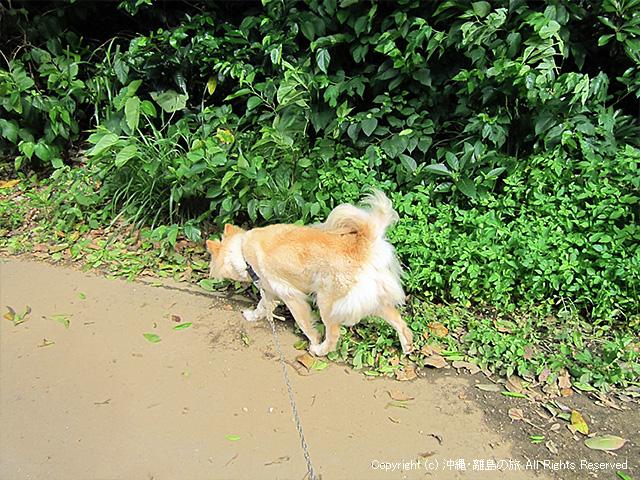 島の犬の散歩