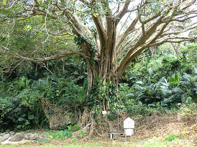比川手前のあぐの木
