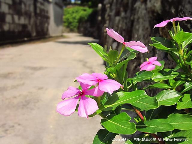 ニチニチソウ(久高島)