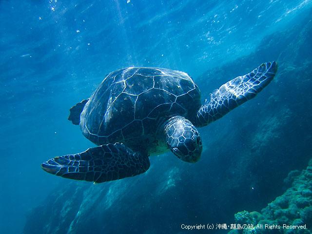 阿嘉島の阿嘉ビーチのウミガメ