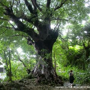 樹齢350年の大アカギ