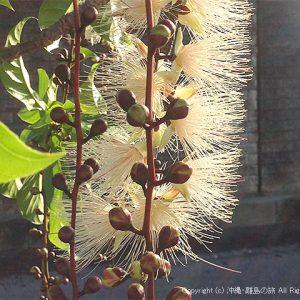 サガリバナの花